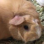 Northwestern Pet of the Week: Emmett the squeaker loves to be held