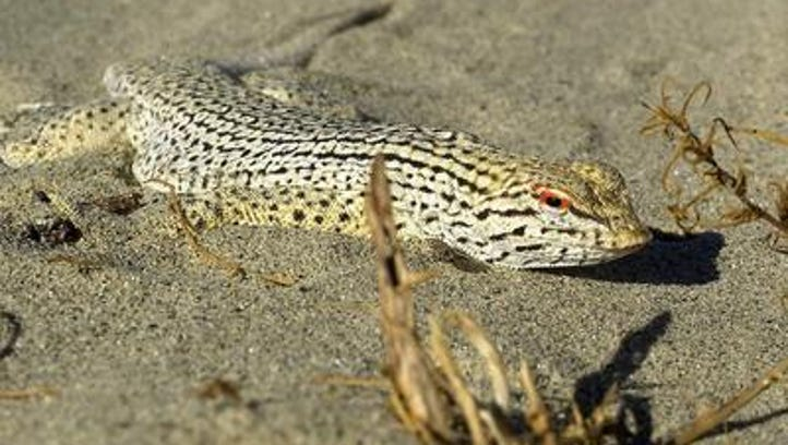 A fringe-toed lizard is one of several species protected