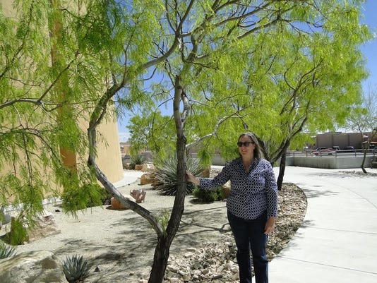 Landscape architect Cathy Mathews shows the thornless and seedless variety of Texas honey mesquite, located south of the entrance to Las Cruces City Hall. The trees are planted to take advantage of the water saving swale in which they are planted