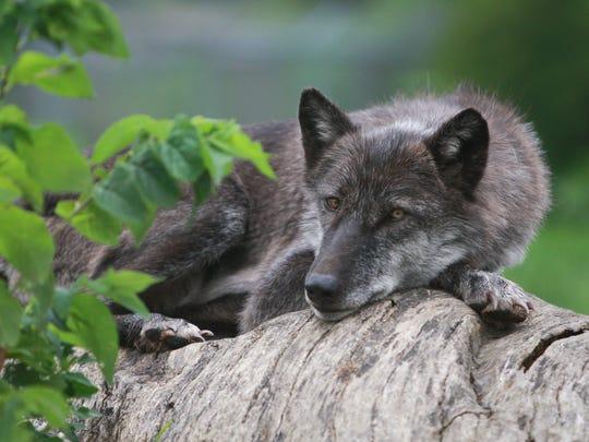 011_wolf.jpg