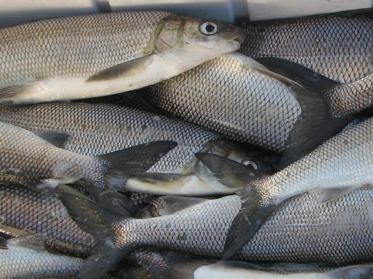 Biologists are hoping to get a better handle on the whitefish population in Green Bay.