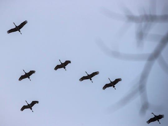 Sandhill cranes in flight over the fam fields of Cecilia,