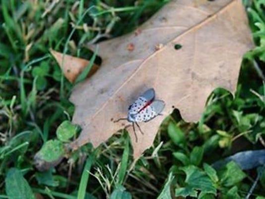 636454038292762529-spottedlanternfly.jpg