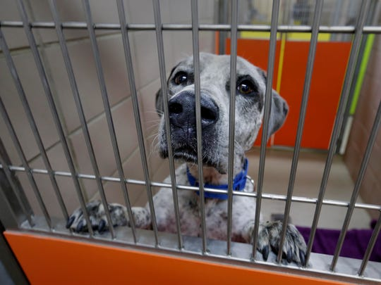 Batman, a Catahoula mix, waits to be adopted as it looks out of its cage at HAWS, the Humane Animal Welfare Society of Waukesha County. The Houston-area dogs were already in shelters looking for homes before Hurricane Harvey arrived. Animal shelters in the hurricane's path needed to make space for pets in need of temporary or emergency shelter so more than 40 dogs were shipped to Waukesha.