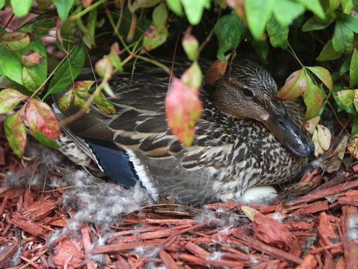 A female mallard duck sits on a nest full of eggs in a courtyard at Meyer Orthopedic and Rehabilitation Hospital on Monday, June 10, 2014.