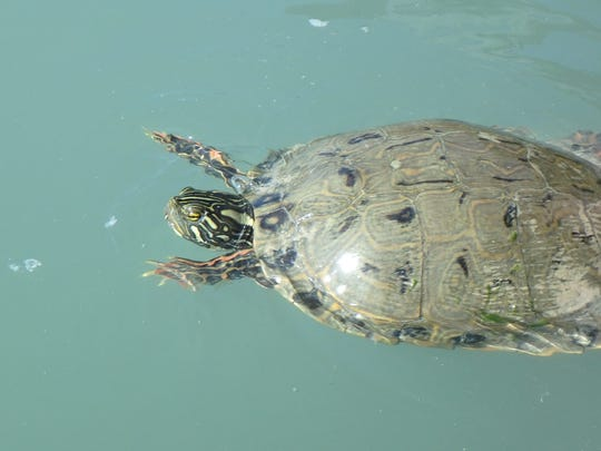 A Rio Grande River Cooter, also known as the Western