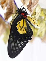 A common birdwing butterfly dries its wings after emerging