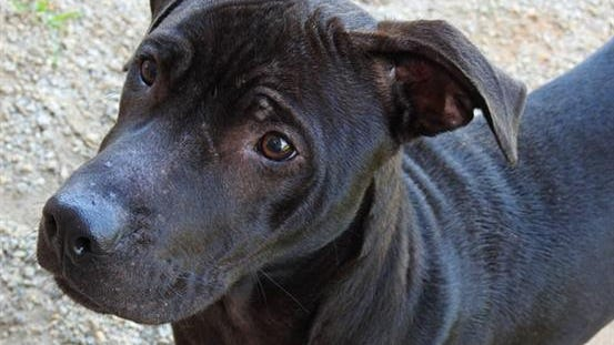 """A090751 """"Thomas"""" - neutered male, Pit Bull mix with current rabies vaccine"""