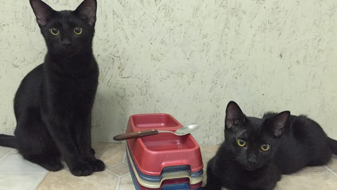 These two black kittens, known as Tanner and Nite while they lived at the Lee County Animal Services cat kennel, are now known as Lua and Mau after a couple from Denmark adopted them.