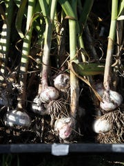 Harvested garlic from Fox Cities Farm.
