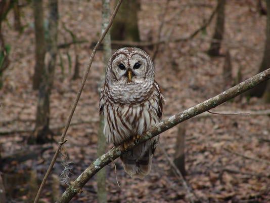 Barred_Owl.jpg