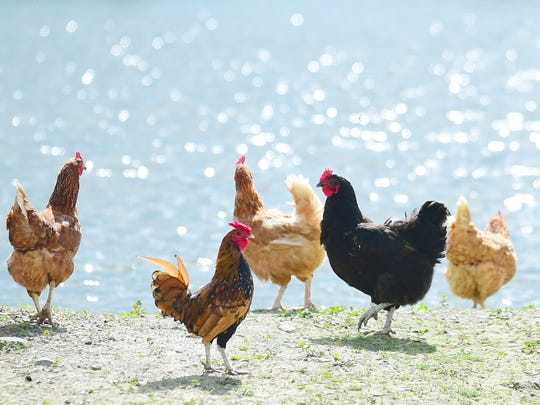 Chickens on the farm of John White in Trumansburg. The White family has about 30 chickens on their family farm.
