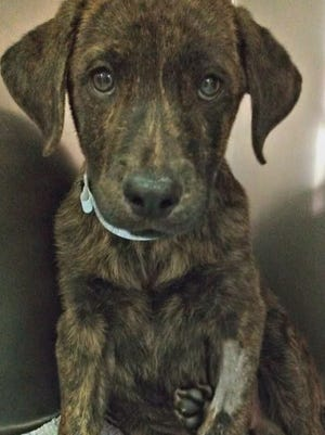 Reeces, a brindle lab mix, on the 12 News TODAY plaza waiting to get adopted, August 28, 2014.