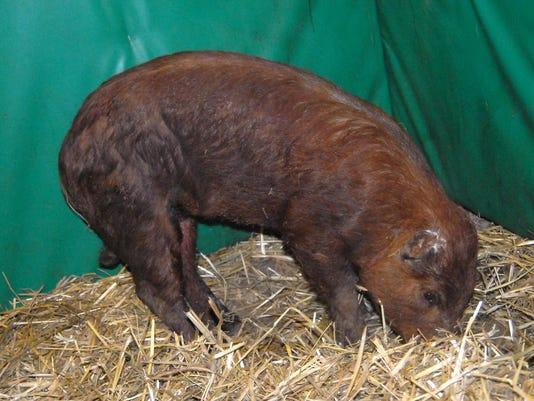 Exchange Pig Rescue_Mitc