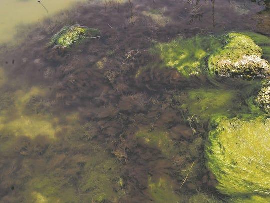 Toxic algae bloom in the Banana River in Cocoa Beach.