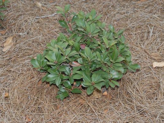 Pine mulch.JPG