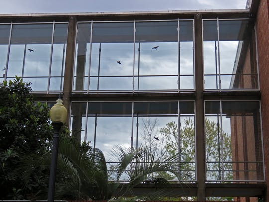 The falcon silhouettes on this glass walkway at FSU did not deter a red-tailed hawk from flying into it.