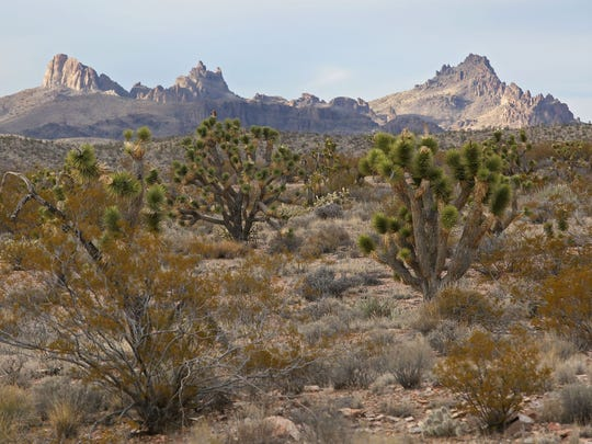 President Barack Obama used his executive authority under the Antiquities Act to protect this lush expanse of Joshua trees in the Castle Mountains. Obama designated the Castle Mountains National Monument in 2016.