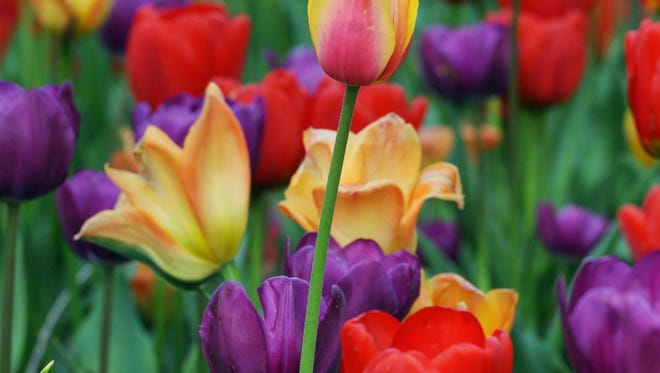 One tulip stands tall among many along Route 52 at Willow Ridge Nursery and Graden Center on Saturday in Fishkill. May 10, 2014