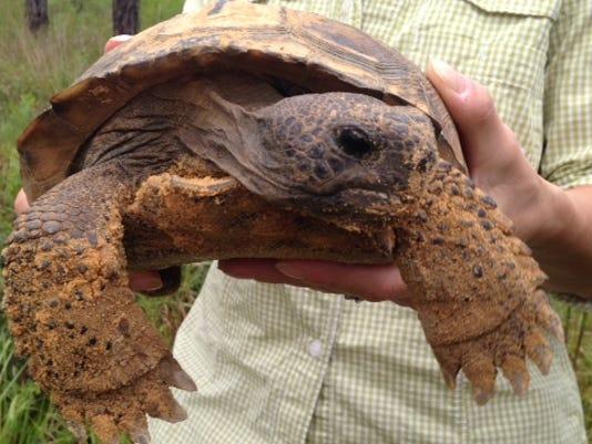 Gopher Tortoise pic 2