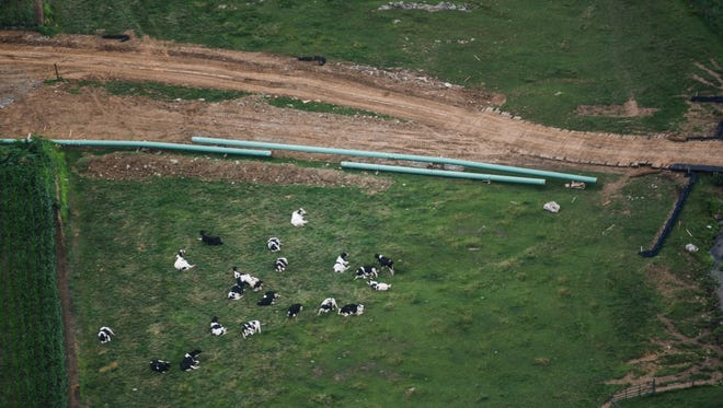 Dairy cows lie in a field next to the Sunoco Mariner East pipeline continues on Wednesday, July 5, 2017.