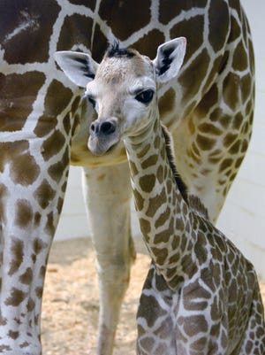 The female calf of Muziki, a 20-year-old giraffe at Cheyenne Mountain Zoo in Colorado Springs, Colo., is the nonprofit zoo's 200th giraffe calf since 1954.