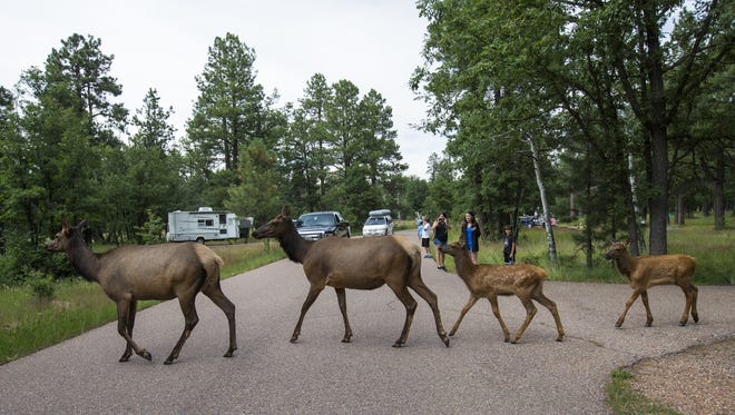 A group of elk cross a road in the Aspen Campground near Woods Canyon Lake, about 30 miles east of Payson in the Apache-Sitgreaves National Forest, on July 30, 2015. Arizona Game and Fish Department officers received information that a cow elk and calf had been shot near Happy Jack, about 40 miles south of Flagstaff.
