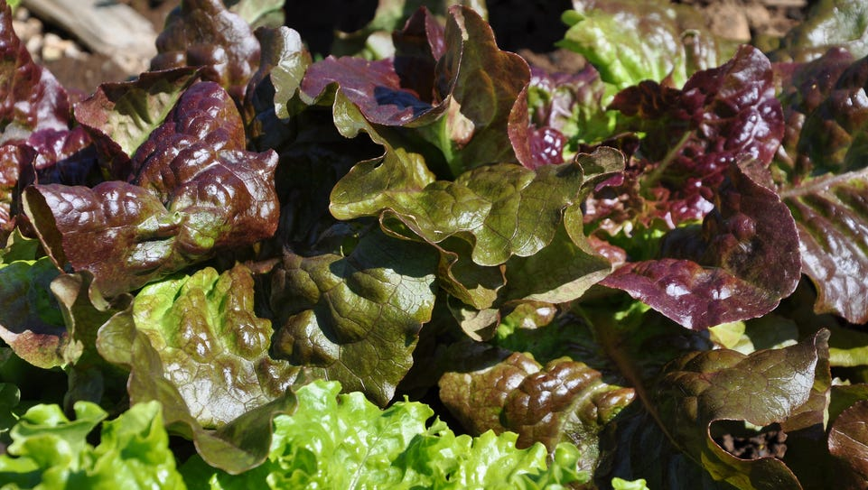 Sow lettuce and other greens heavily and you can harvest