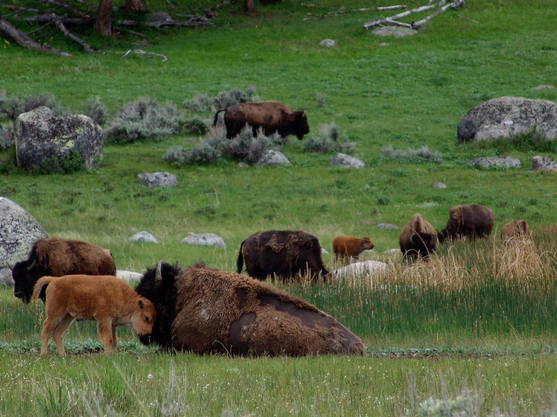 FAL 0628 Science of bison-bison nussle.jpg_20150609.jpg