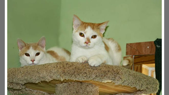 Thelma and Louise are quite a pair, as you know from the movies. These sister's are quite an adventurous duo. They love to play or just lounge together. Come see them and their friends at Mary Hall Ruddiman Shelter.