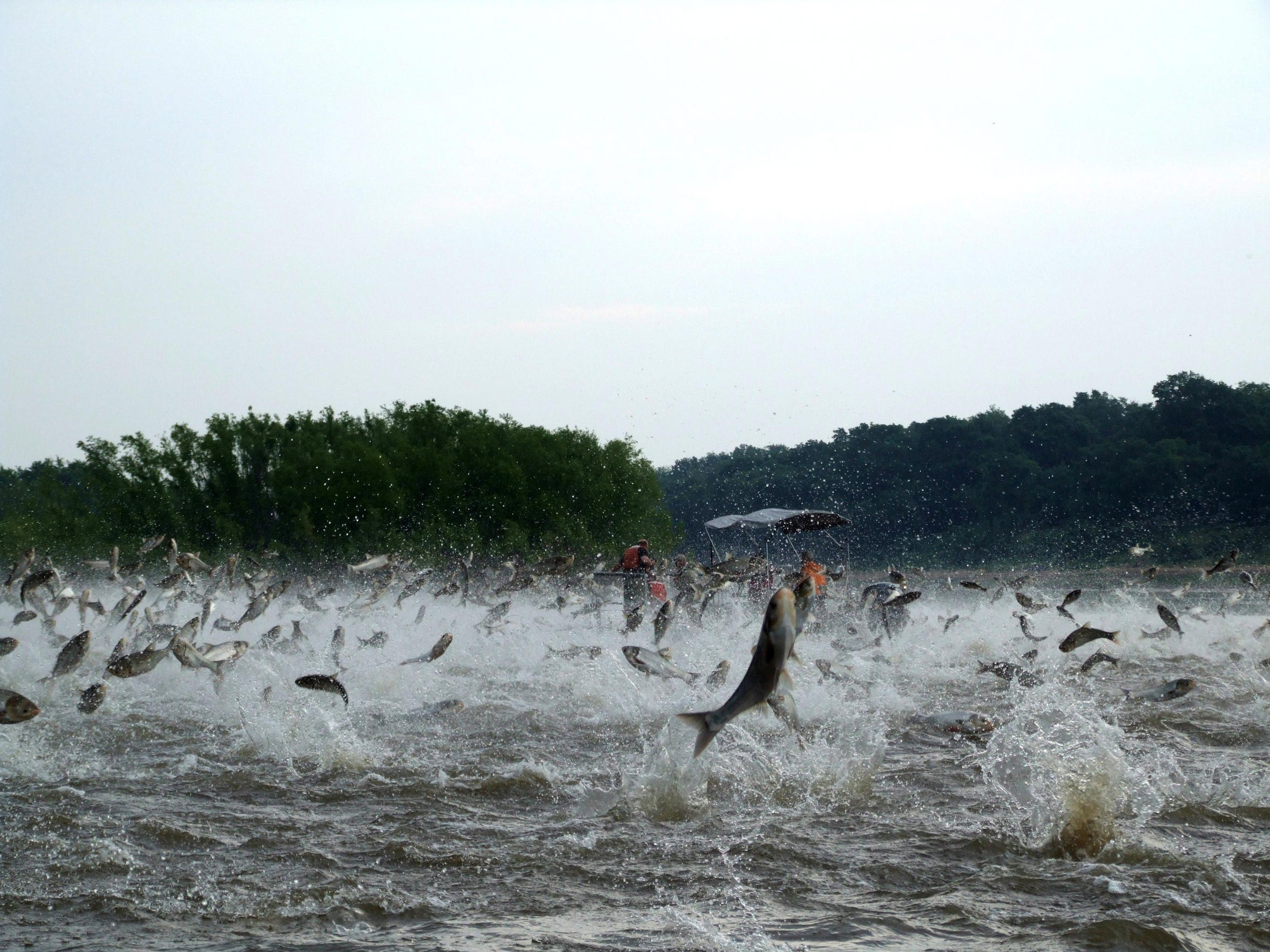 This photo provided by the Illinois River Biological Station shows silver carp jumping out of the water after being disturbed by sounds of watercraft.