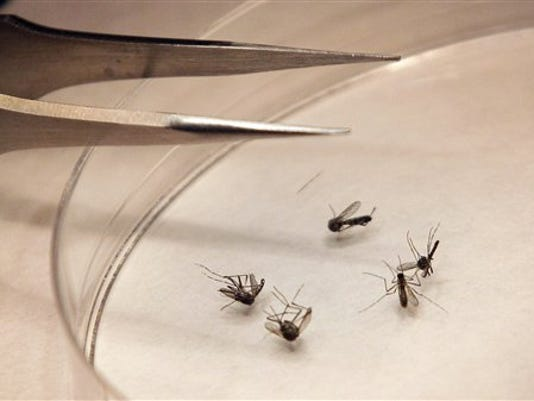 FILE - In this Aug. 16, 2012 file photo, mosquitos are sorted at the Dallas County mosquito lab in Dallas.