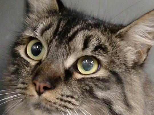 This 1-year-old Maine Coon mix tabby female cat is spayed. Her name is Manx. Manx is current on all her shots. Her adoption fee is $5.40 plus a $10.40 city license if needed. For more information about adopting a Pet of the Week or other furry friends visit Alamogordo Animal Control, 2910 N. Florida Ave., Monday through Saturday between noon and 5 p.m. or contact them at 439-4330.