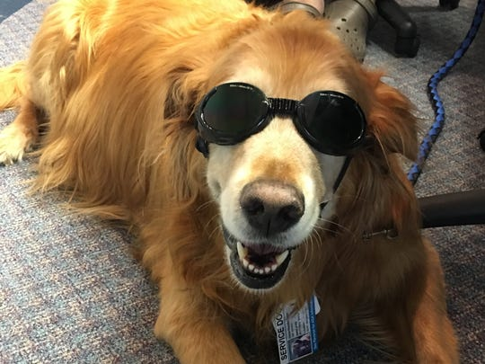 Golden retriever Marley wears protective goggles as he prepares to undergo laser treatment.