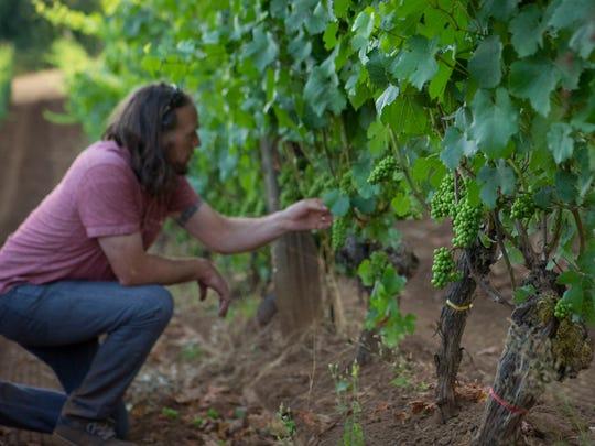 Winemaker Chris Williams checks grapes on the vines