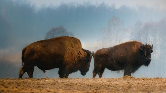 The Stan Plis Sportsmen's League will host its 23rd annual Babcock Bison Feed on Aug. 29.