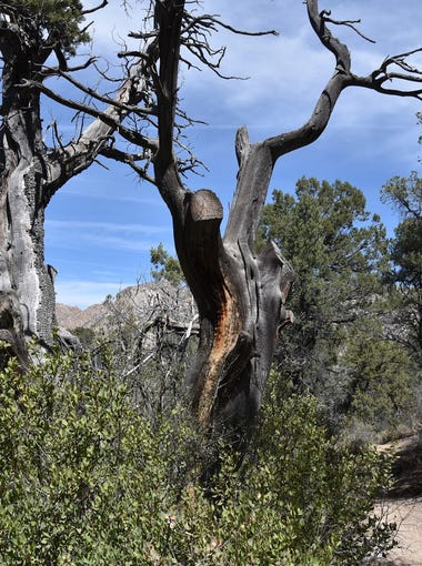 The Clark Spring Trail in Prescott features pine and juniper forest and mountain views.