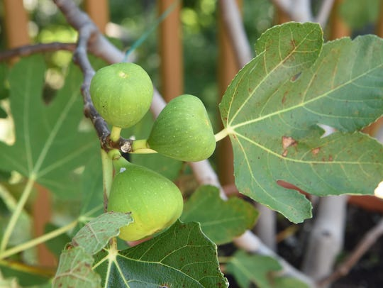 Some figs grown by Michael Fanelli.