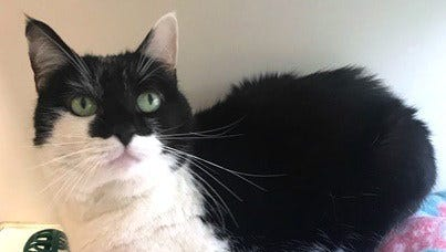 Lovey is a sweet 6-year-old black and white cat up for adoption at Nashville Humane Association.
