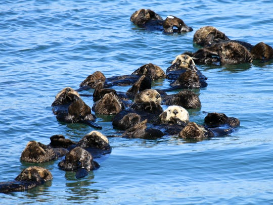 """Sea otters often rest in groups called """"rafts."""""""