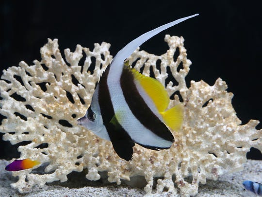 A large Black and White Heniochus swims past coral in one of the many tanks at Caribbean Forest fish and aquarium shop.