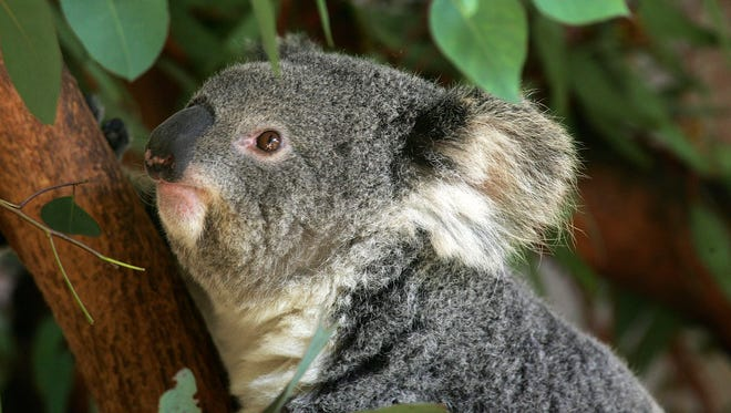 In this 2007 file photo, a koala makes its first public appearance at the Los Angeles Zoo.