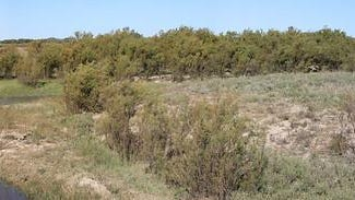 Saltcedar and tamarisk trees can have damaging effects on soil health, water quality and wildlife habitat in pastures in southcentral and southwestern Kansas.