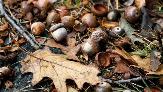 Abundant acorn crops can predict an upswing in future cases of Lyme disease.