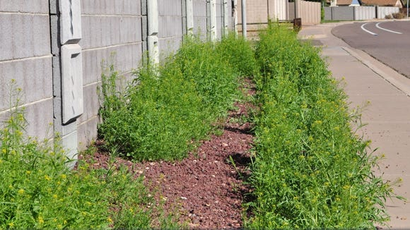 Chandler residents are being reminded that alleys and right-of-way areas between the home and the curb are the homeowners responsibility when it comes to taking care of weeds. An abundance of rain this winter could result in more weeds this spring.