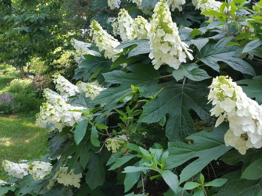 Oakleaf hydrangeas add height to the garden, as well as constantly changing textural interest in flowers, leaves and stems.