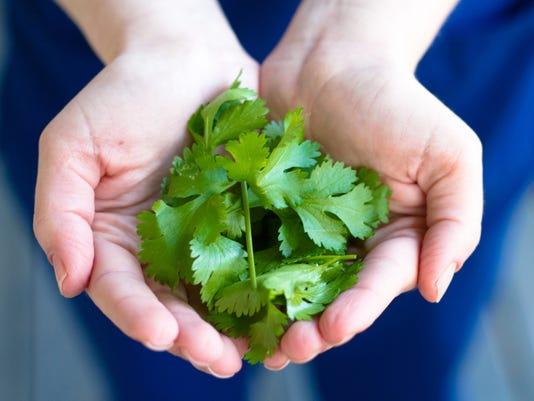 Fresh grown cilantro