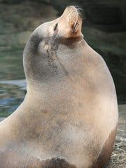 Duke, a California sea lion, stretches his nose into