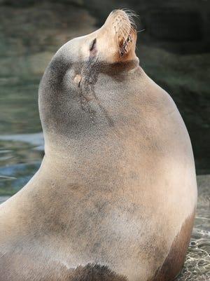 Duke, a California sea lion, stretches his nose into the sun, Wednesday, Jan. 17, 2018, at the Cincinnati Zoo.