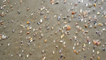 Scientists say beaches with an abundance of coquinas indicates a healthy beach.